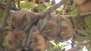 Bats Sleeping In Tree in Cancun