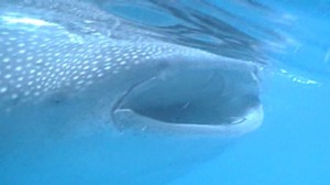 whale shark mouth - feeding on plankton