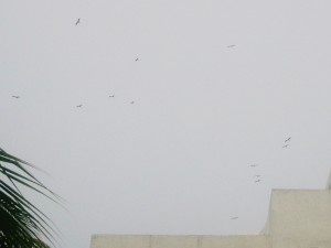 Frigate birds gathered