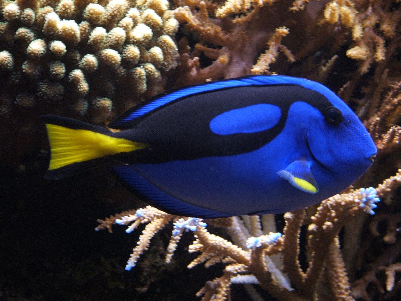 1280px-Blue_tang_(Paracanthurus_hepatus)_02